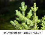 Bright Green Young Spruce Trees ...