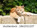 Ginger Tabby Cat Lying In The...