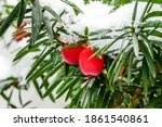 Taxus Baccata European Yew Or...