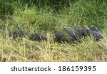 group of helmeted guineahen or... | Shutterstock . vector #186159395