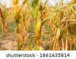 corn field dry dead with...   Shutterstock . vector #1861635814