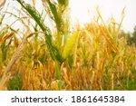 corn field dry dead with...   Shutterstock . vector #1861645384