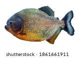 Pacu fish piranha  colossoma...
