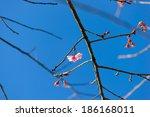 wild himalayan cherry is flower ... | Shutterstock . vector #186168011