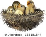 four hungry baby sparrows in a... | Shutterstock .eps vector #186181844