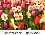 Tulips And Narcissus In Spring