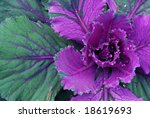 Colorful ornamental cabbage with raindrops. - stock photo