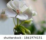 Delicate White Geranium Flower...