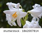 white easter lily lilium... | Shutterstock . vector #1862007814
