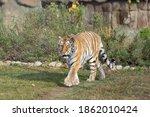 Wild Siberian Tiger Is Walking...