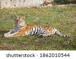 Wild Siberian Tiger Is Lying O...