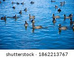 Water Birds American Coots...
