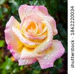 Beautiful Rose Flower Gloria...