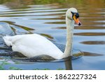 Mute Swan On The River Weaver...
