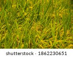 rice field in harvest season   Shutterstock . vector #1862230651