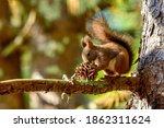 Ezo Squirrel  Ezorisu  Is...