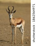 Small photo of Springbok ( Antidorcas marsupialis) Kgalagadi Transfrontier Park, South Africa