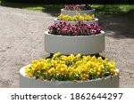 Bright Yellow And Purple Pansy...
