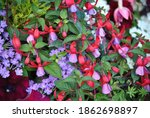 Fuchsia A Beautiful And...