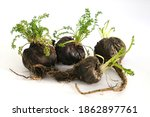 Small photo of Peruvian Maca root aphrodisiac for health on white background