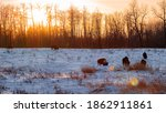 Wild Bison Grazing In The Winter