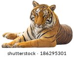 beautiful tiger   isolated on...