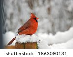 Male Red Cardinal Perched In...