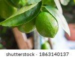 Organic Limes Growing On A Lim...