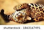 Handsome Jaguar Stretched Out...