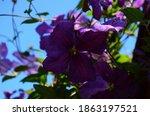 Clematis Viticella Purple...