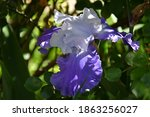 Blue Lilac Iris In The Play Of...