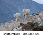 Small photo of A mountain goat baby and their mother wandering around the Quandary Peak trail in Colorado