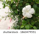 White  Hibiscus Blooming With...