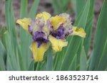 Beautiful Irises On A Green...