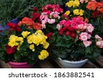 Variety Of Colorful Begonia...
