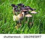 Cluster Of Yard Bonnet...