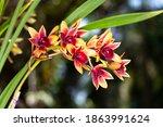 Symbidium Orchid  Close Up Of...