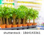Many Pots Of Ficus Benjamin...