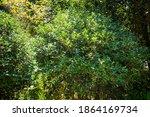 Osmanthus Heterophyllus Bush....