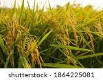 rice field in harvest season   Shutterstock . vector #1864225081