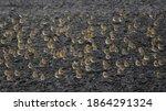 European Golden Plovers ...