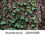 Old tree trunk with English ivy - stock photo