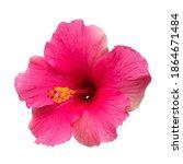 pink hibiscus flower is... | Shutterstock . vector #1864671484