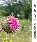 Musk Thistle Flower In The...