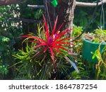 Flower Of Tillandsia Ionantha ...
