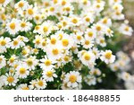 Spring White Daisy Flowers In...