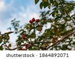 Ripe Red Rosehip Berries Among...