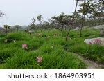 Beautiful Siam Tulip Flower In...