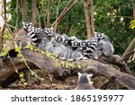 Group Of Ring Tailed Lemurs...