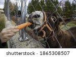 Donkey eating carrot in farm ...